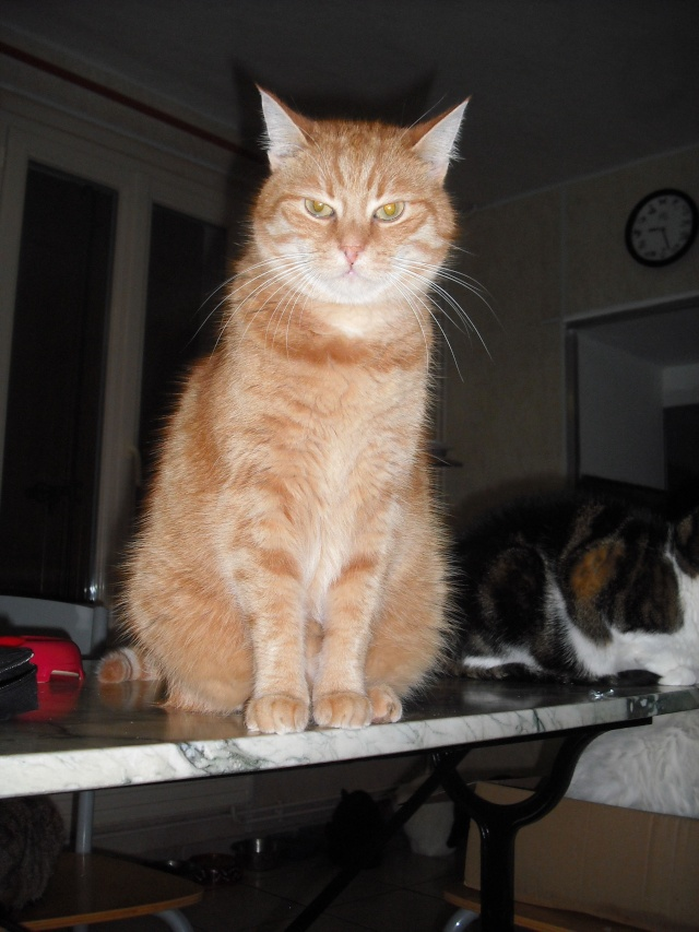 DARWIN, magnifique chat roux, né en avril 2006. Dscf2911