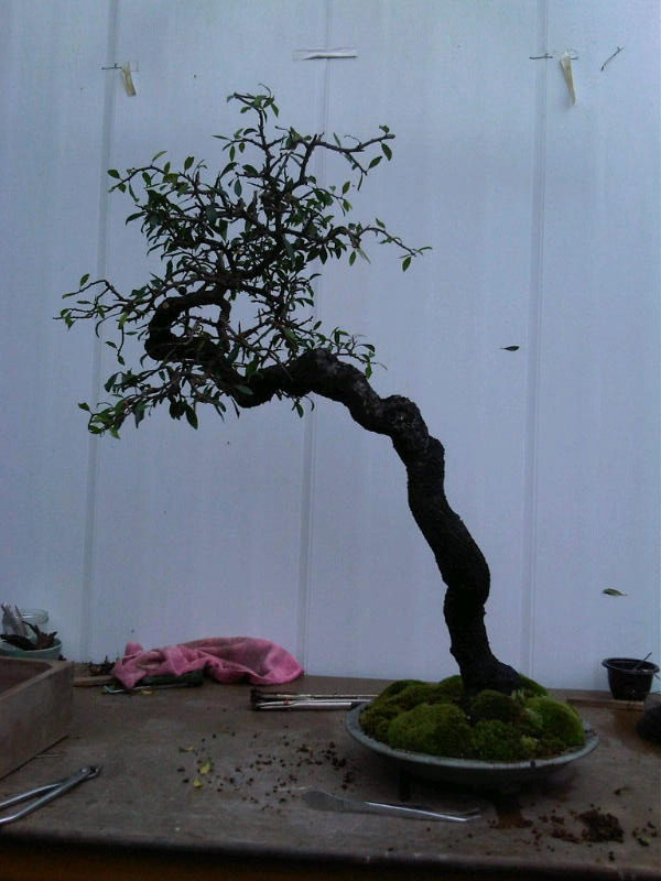 Preparing trees, accents and a suiban for Bonsai Masters. Img00710
