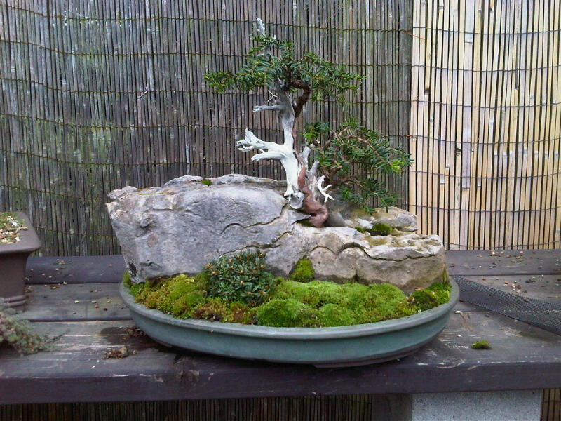 Preparing trees, accents and a suiban for Bonsai Masters. Img00712