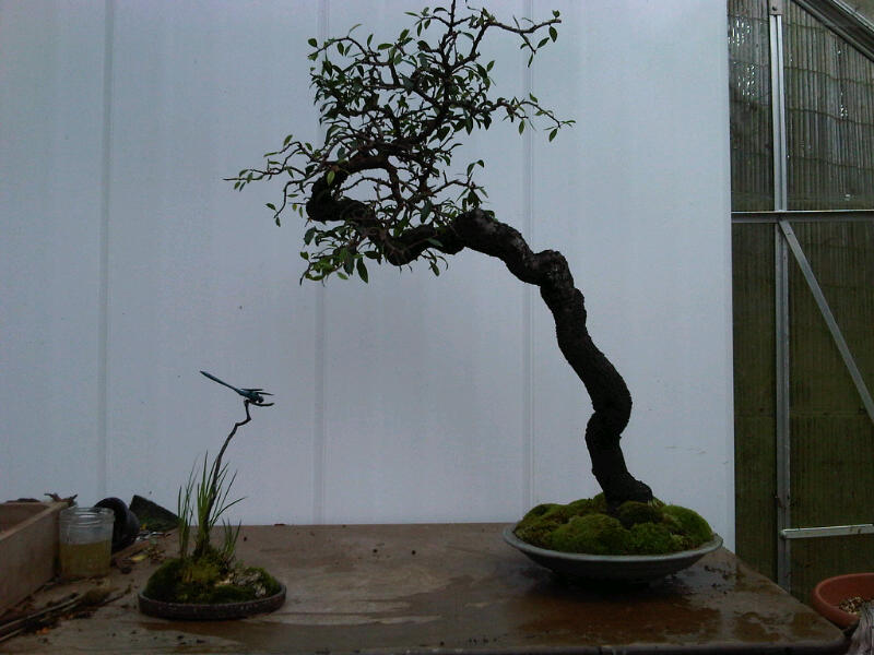 Preparing trees, accents and a suiban for Bonsai Masters. Img00719
