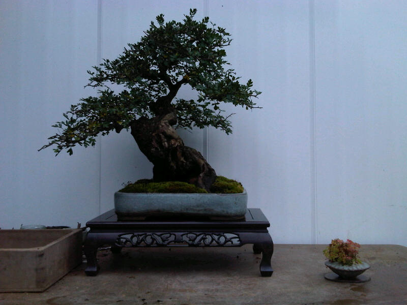 Preparing trees, accents and a suiban for Bonsai Masters. Img00722