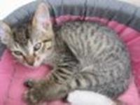 BANJO, chaton de 6 mois à l'adoption (59) -R-VV-LBC- F 02610