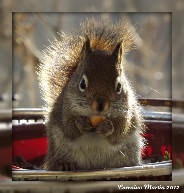 Est-ce un écureuil roux?? Merci! Dscf2071