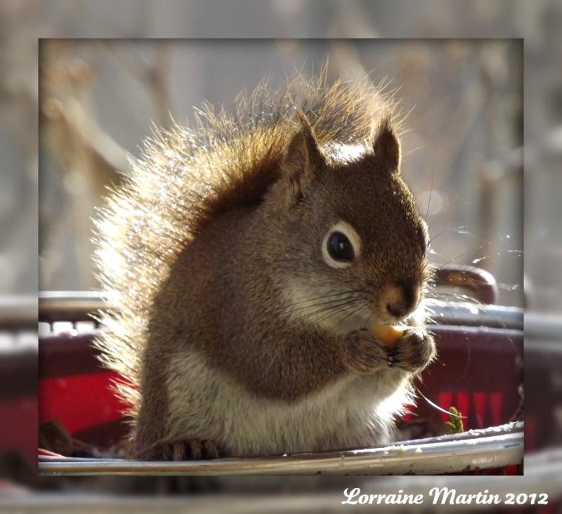 Est-ce un écureuil roux?? Merci! Dscf2072