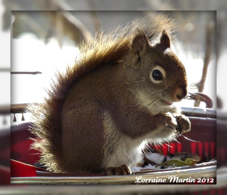 Est-ce un écureuil roux?? Merci! Dscf2074