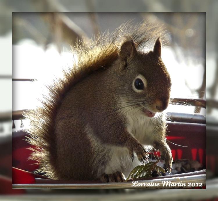 Est-ce un écureuil roux?? Merci! Dscf2075