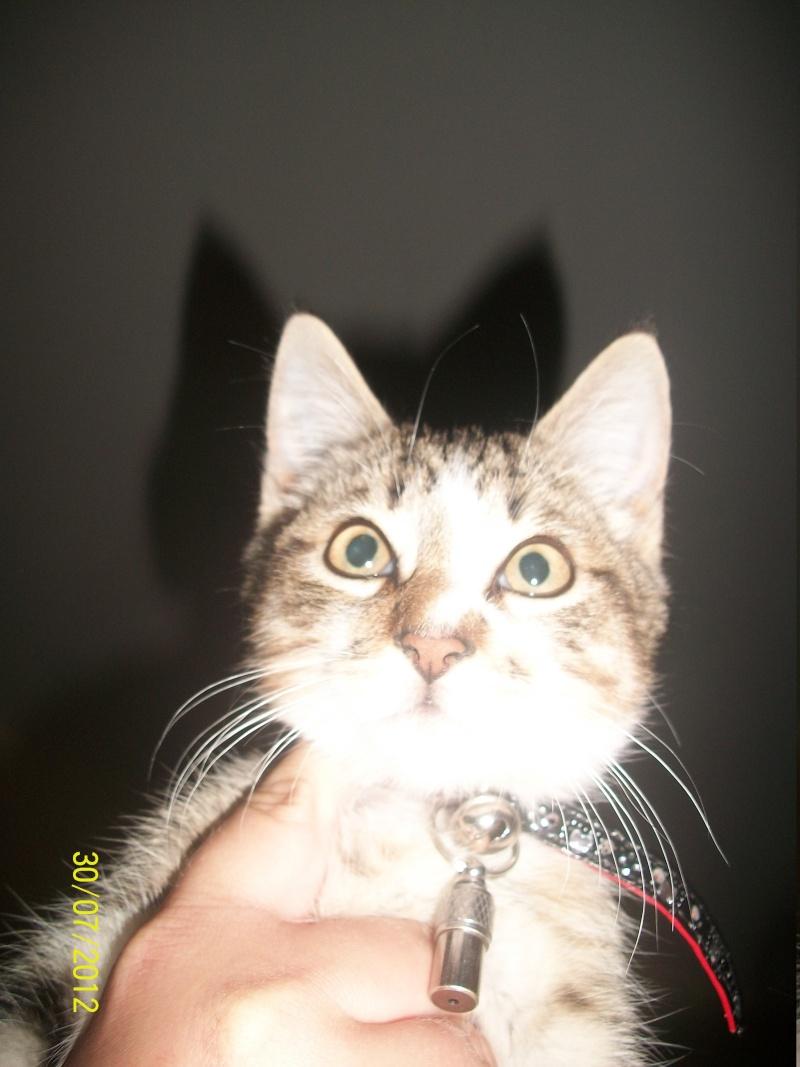 Hadès, chaton tigré et blanc né le 11/05/2012  par NADINE (36) 100_1510