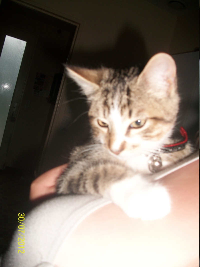 Hadès, chaton tigré et blanc né le 11/05/2012  par NADINE (36) 100_1512