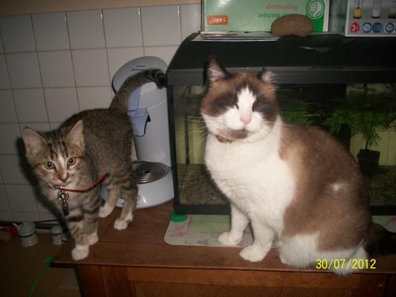 Hadès, chaton tigré et blanc né le 11/05/2012  par NADINE (36) 100_1513