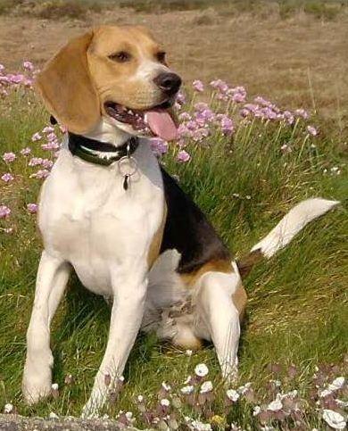 FILOU, beagle de 3 ans (59) en FA chez Fabou [Adopté] Filou10