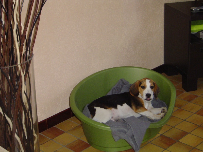 FOX, Beagle Male 1 an - Lesquin - Nord (59) Fox_0810