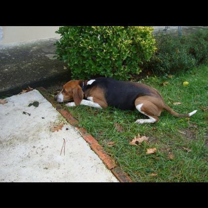 Trouvée femelle beagle a pontonx sur l'adour (40) Image15