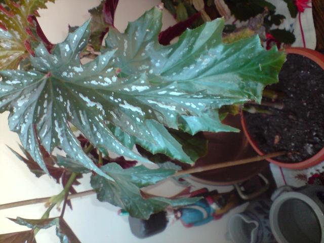 est-ce bien le platanifolia,ou autre Fleurs11