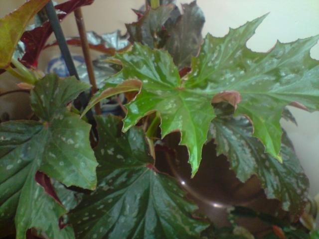 un autre à identifier svp [Begonia 'Kentwood' ] Fleurs15