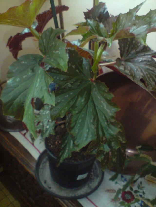 un autre à identifier svp [Begonia 'Kentwood' ] Fleurs16