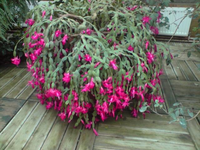 cactus de noel  - Page 3 Fleurs17