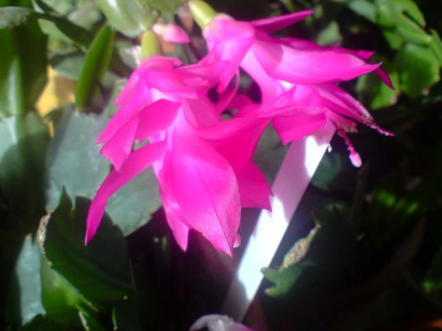 cactus de noel  - Page 3 Fleurs21