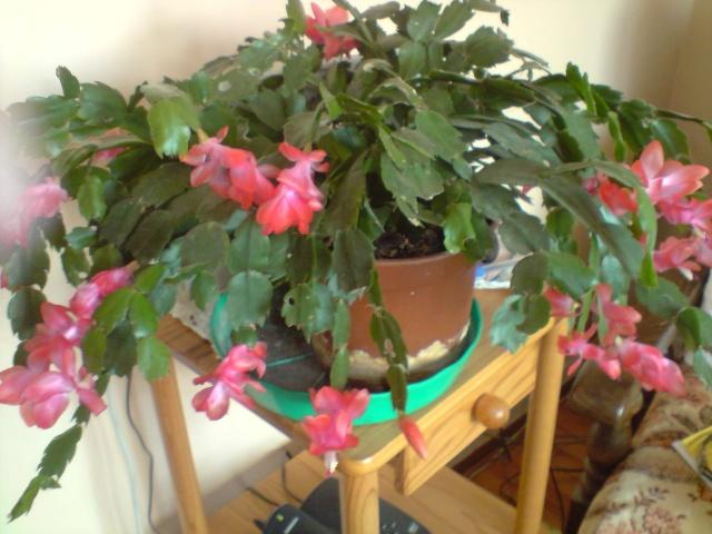 cactus de noel  - Page 3 Fleurs23