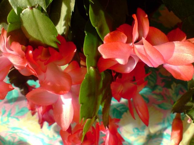 cactus de noel  - Page 3 Fleurs24