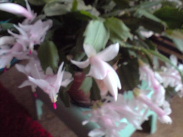 cactus de noel  - Page 3 Fleurs25