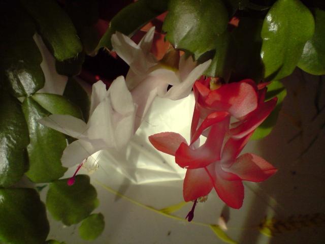 cactus de noel  - Page 3 Fleurs26