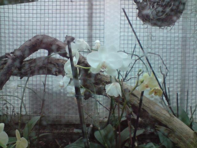 Vanda [des nouvelles et surtout des fleurs !] Fleurs36