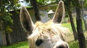 avis des experts camelidés Alpaca11