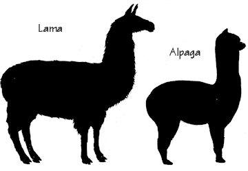 avis des experts camelidés Alpaca12