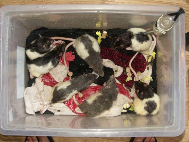 URGENT !!!! trouvé 13 rats males dans le bois de vincennes 75-94 110