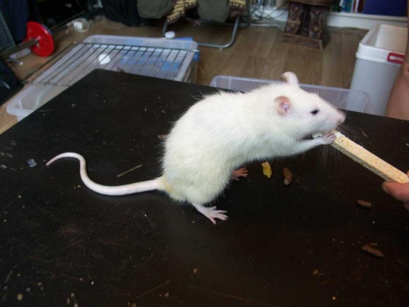 URGENT !!!! trouvé 13 rats males dans le bois de vincennes 75-94 1310