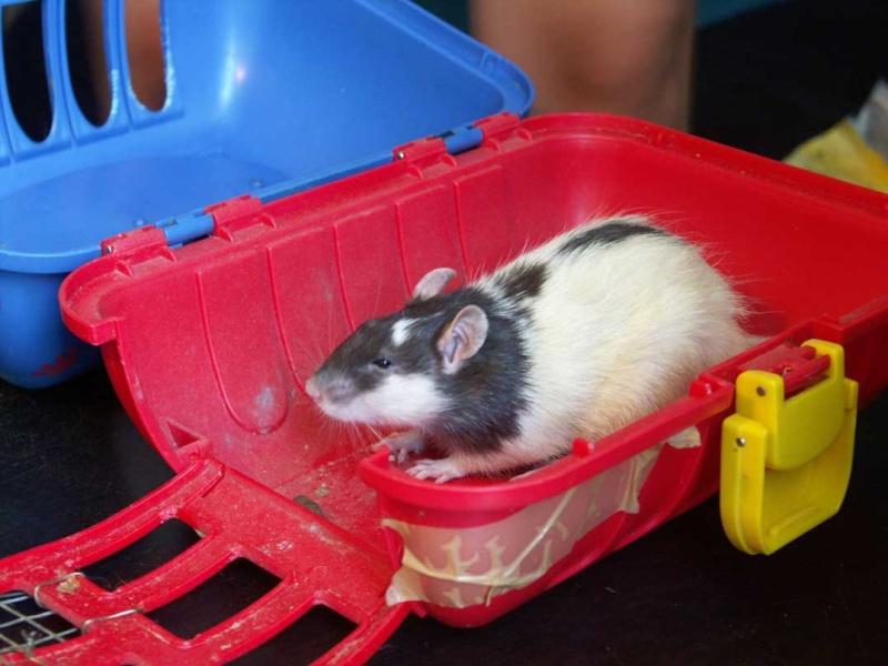 URGENT !!!! trouvé 13 rats males dans le bois de vincennes 75-94 310