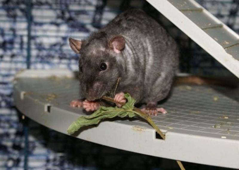 [GÉNÉTIQUE]  Types de poil, morphologie et couleurs d'yeux du rat Quisma11
