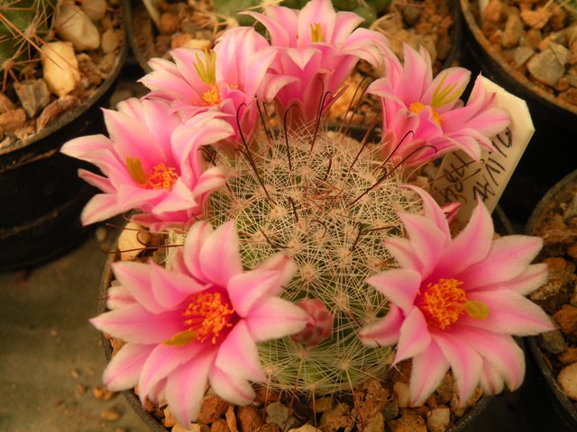 UK Mammillaria Reference Collection Olivia10
