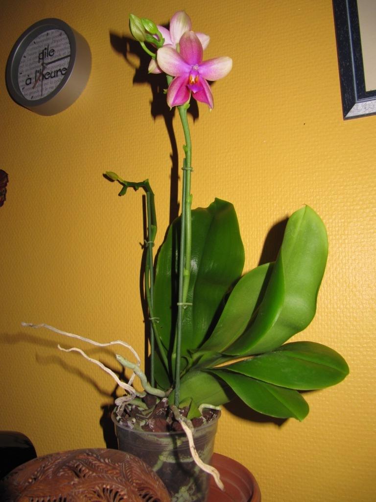 expo orchidée Vervins 00211