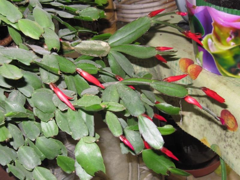 mon  cactus de noel rouge - Page 2 Les_pl10