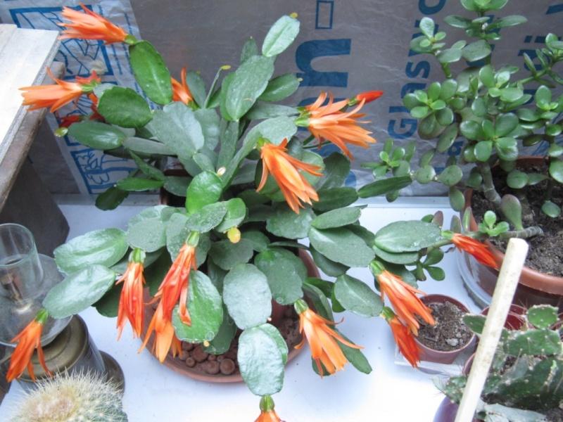 mon  cactus de noel rouge - Page 2 Les_pl11