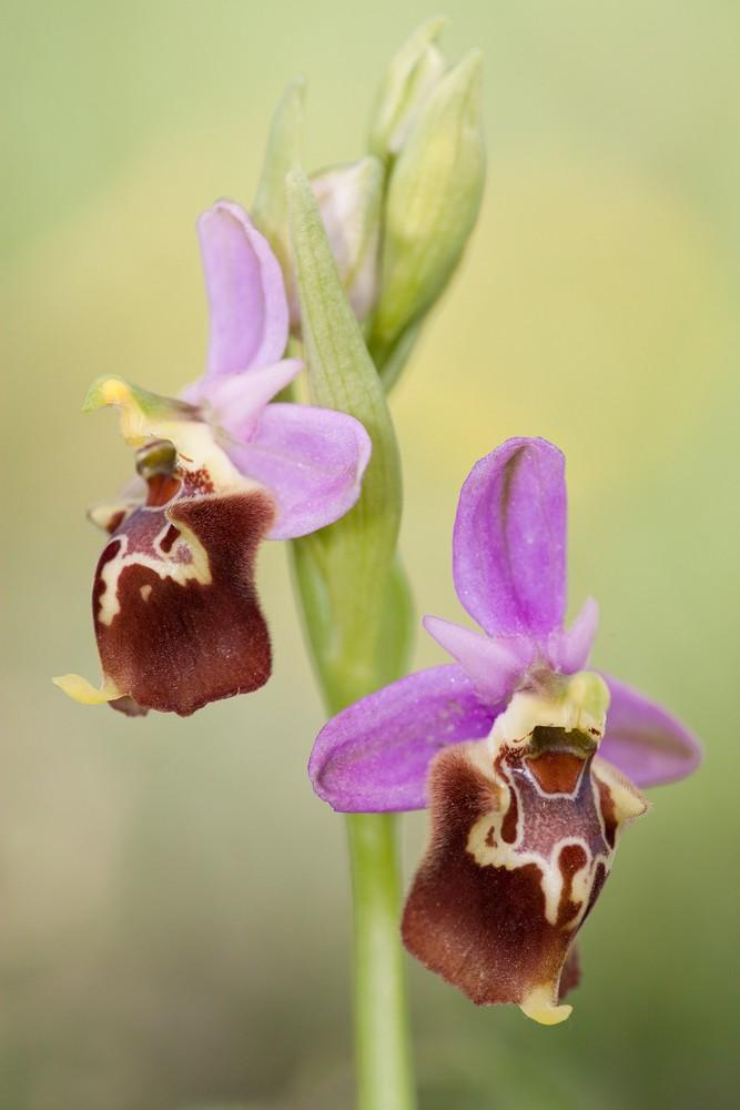 Des orchidées de Gargano, Tarento et Lecce _mg_0610