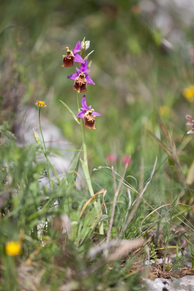 Des orchidées de Gargano, Tarento et Lecce _mg_0612
