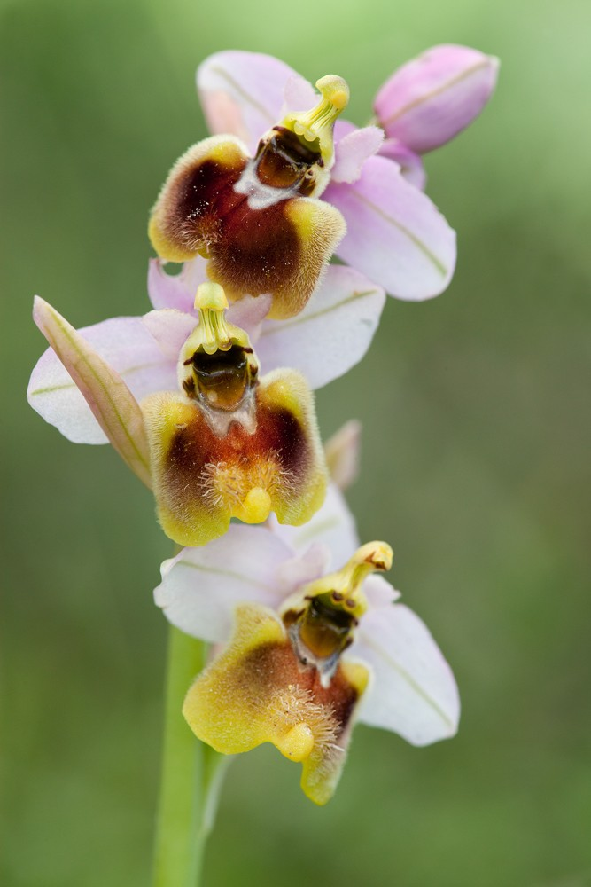Des orchidées de Gargano, Tarento et Lecce _mg_0613