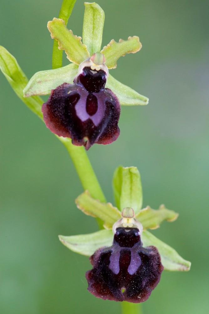 Des orchidées de Gargano, Tarento et Lecce _mg_0711