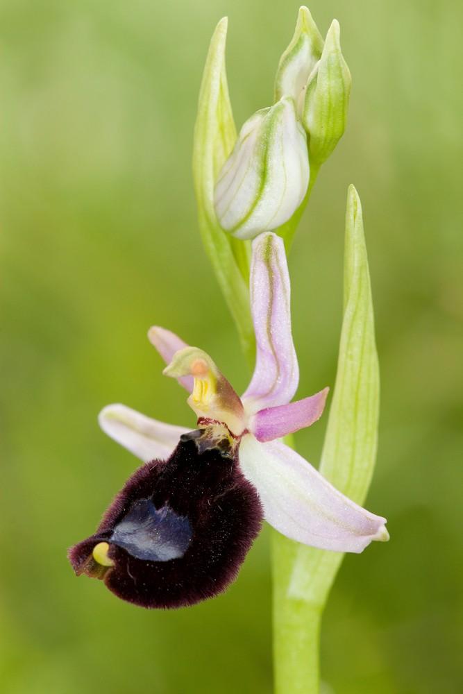 Des orchidées de Gargano, Tarento et Lecce _mg_0810