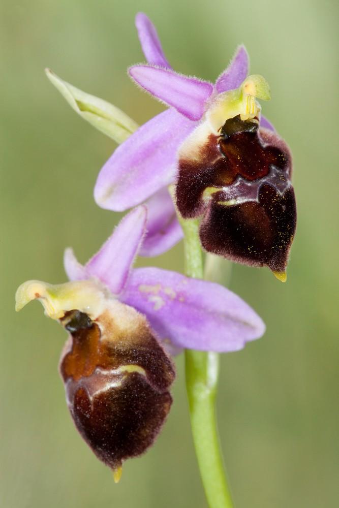 Des orchidées de Gargano, Tarento et Lecce _mg_0815