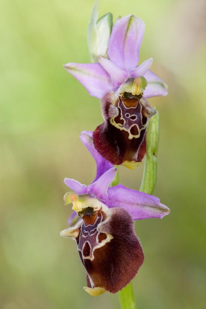 Des orchidées de Gargano, Tarento et Lecce _mg_0910