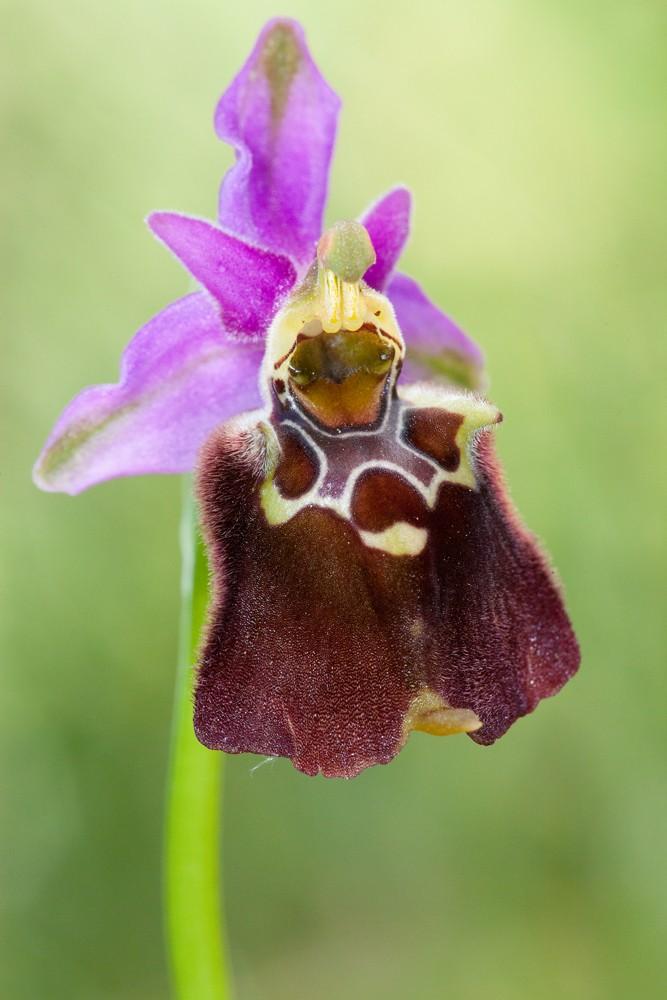 Des orchidées de Gargano, Tarento et Lecce _mg_0911