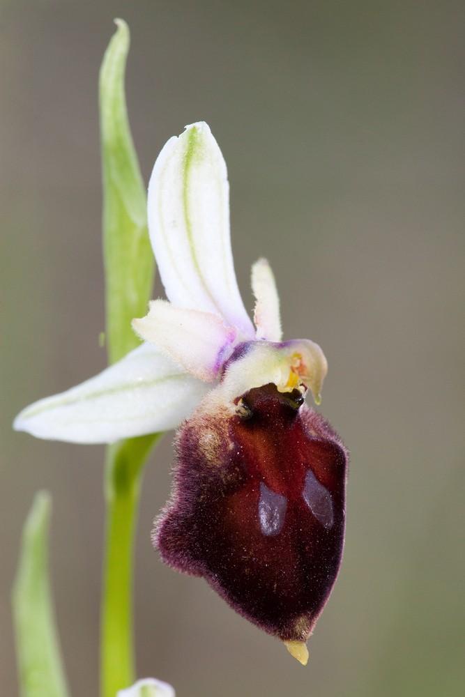 Des orchidées de Gargano, Tarento et Lecce _mg_1010