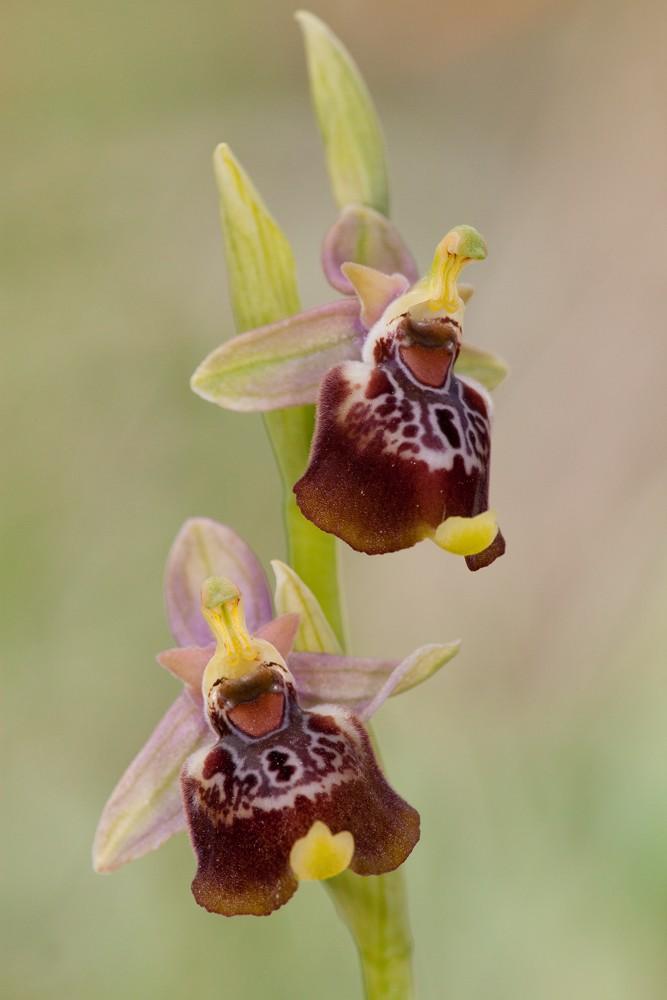 Des orchidées de Gargano, Tarento et Lecce _mg_1011