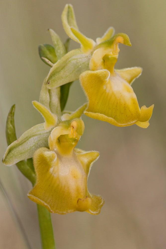 Des orchidées de Gargano, Tarento et Lecce _mg_1110