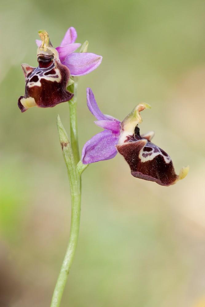 Des orchidées de Gargano, Tarento et Lecce _mg_1111