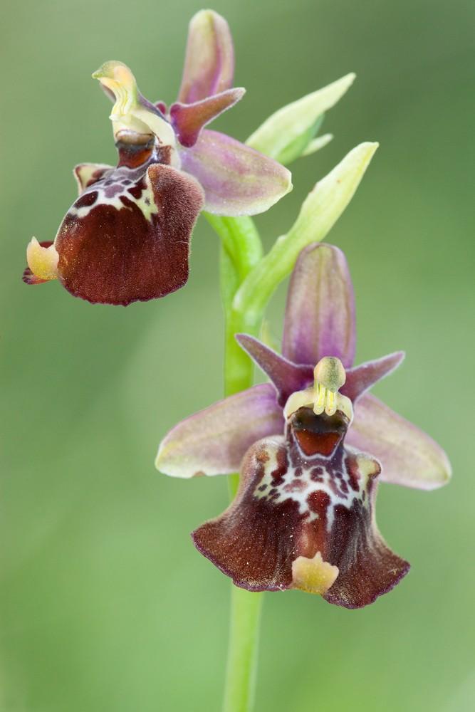 Des orchidées de Gargano, Tarento et Lecce _mg_1112