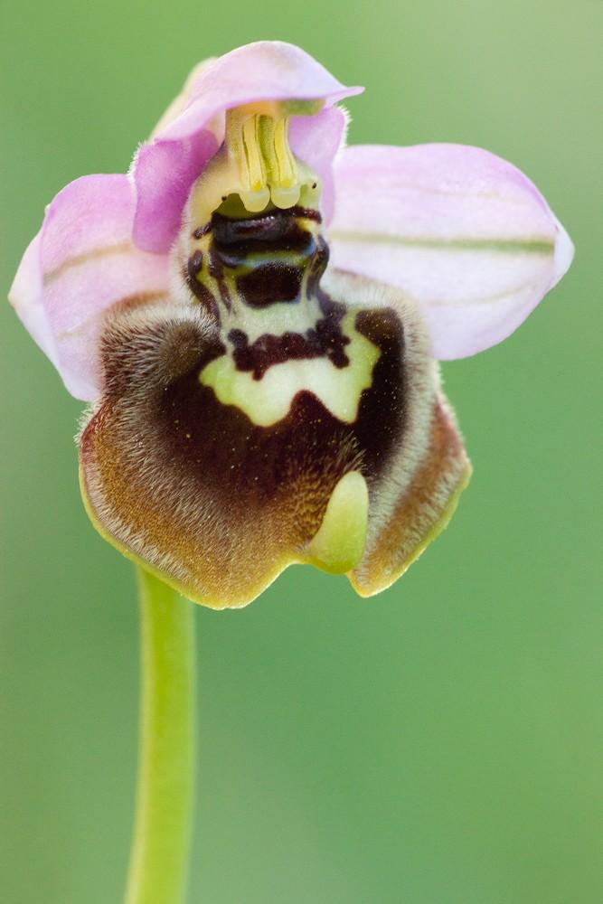 Des orchidées de Gargano, Tarento et Lecce _mg_1210